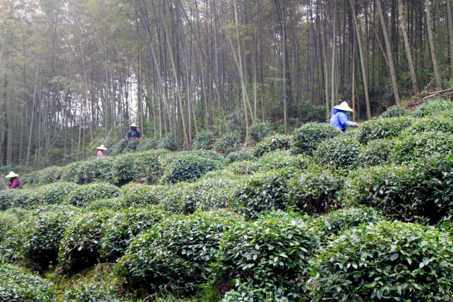 Hangzhou Tea Terrace