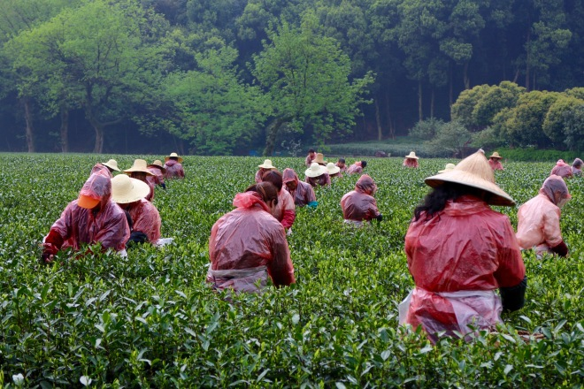 Tea Terrace Workers