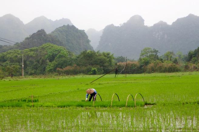 Farmer Tending to Rice