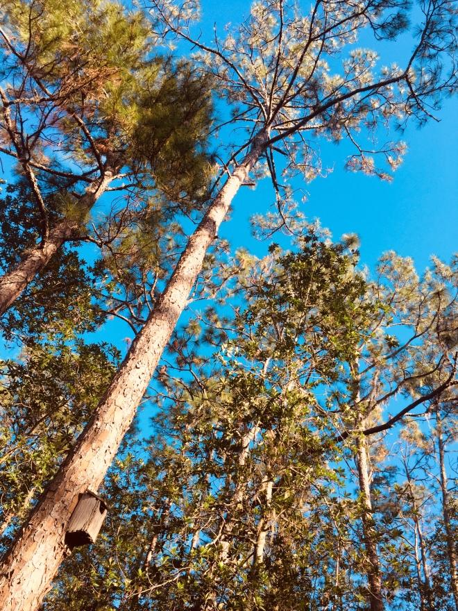 Tibet-Butler Pines