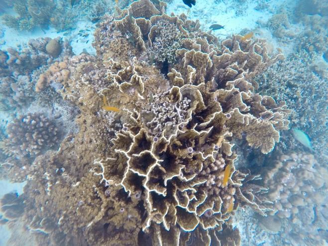 Cebu Coral