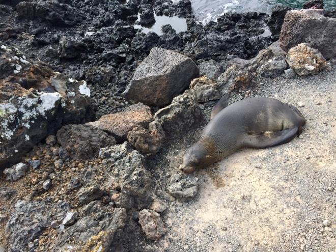Isabela Sea Lion